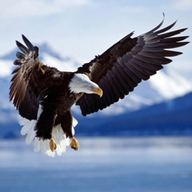 Bald Eagle HD Wallpaper.. APK